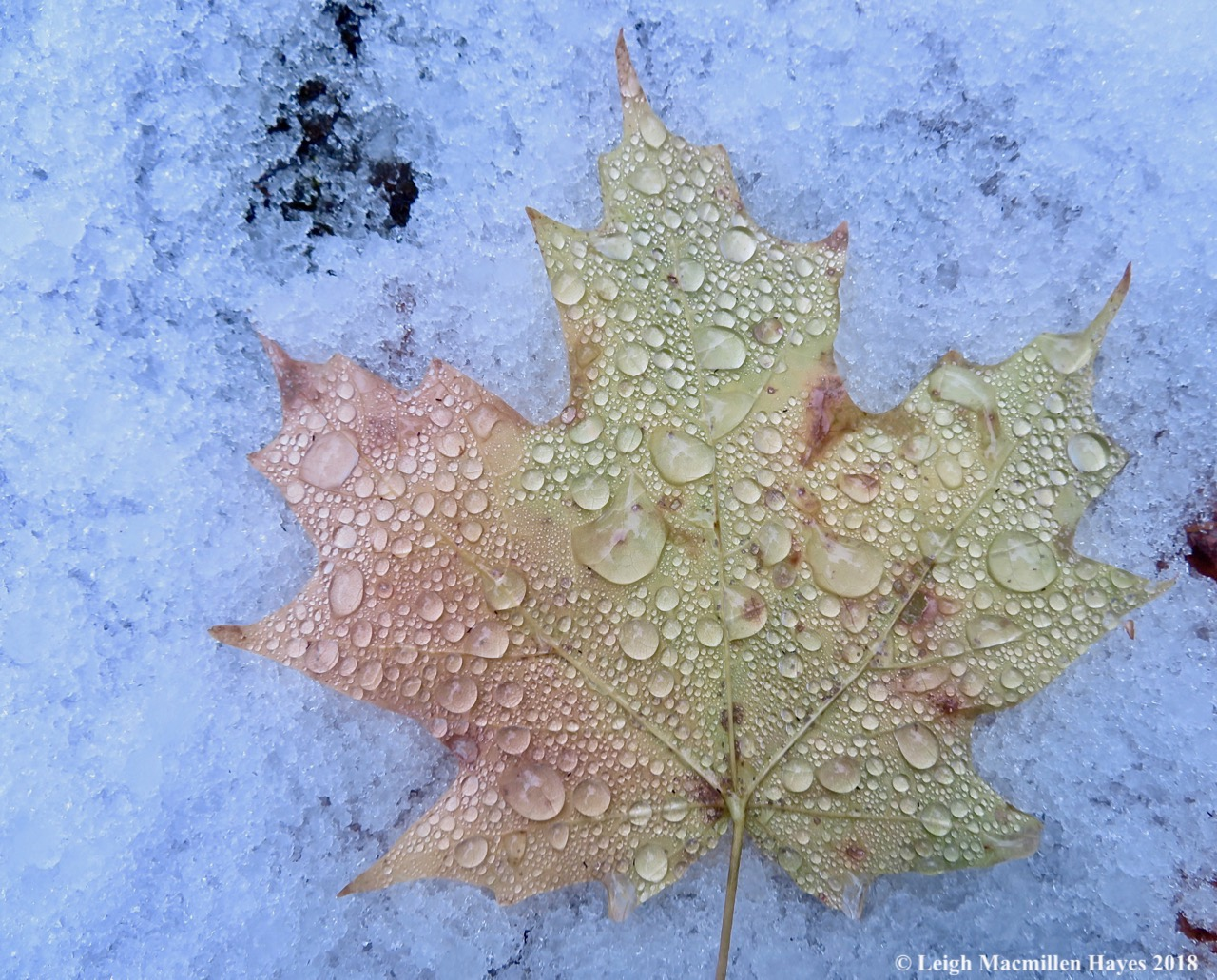 8a-melted snow on sugar maple