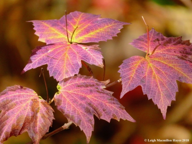 9-maple-leaf viburnum