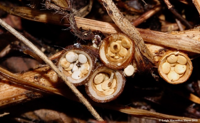 1-bird's nest fungi