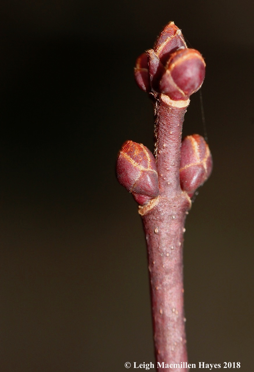 11-red maple flower and leaf buds
