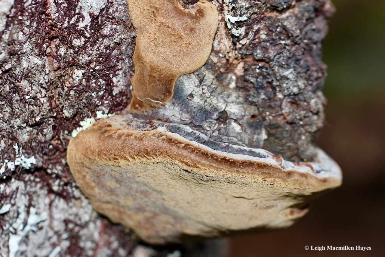 14-False Tinder Polypore