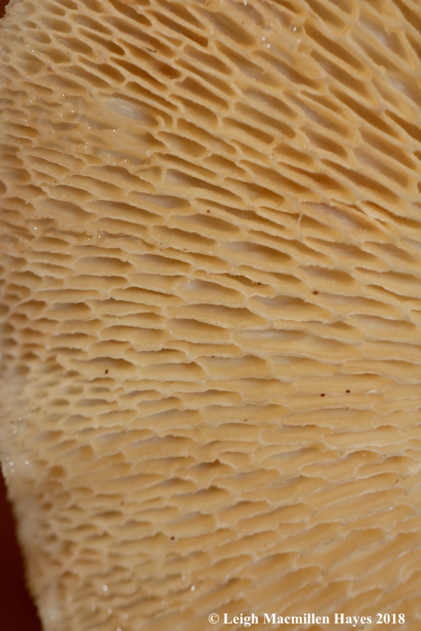19-hexagonal-pored polypore