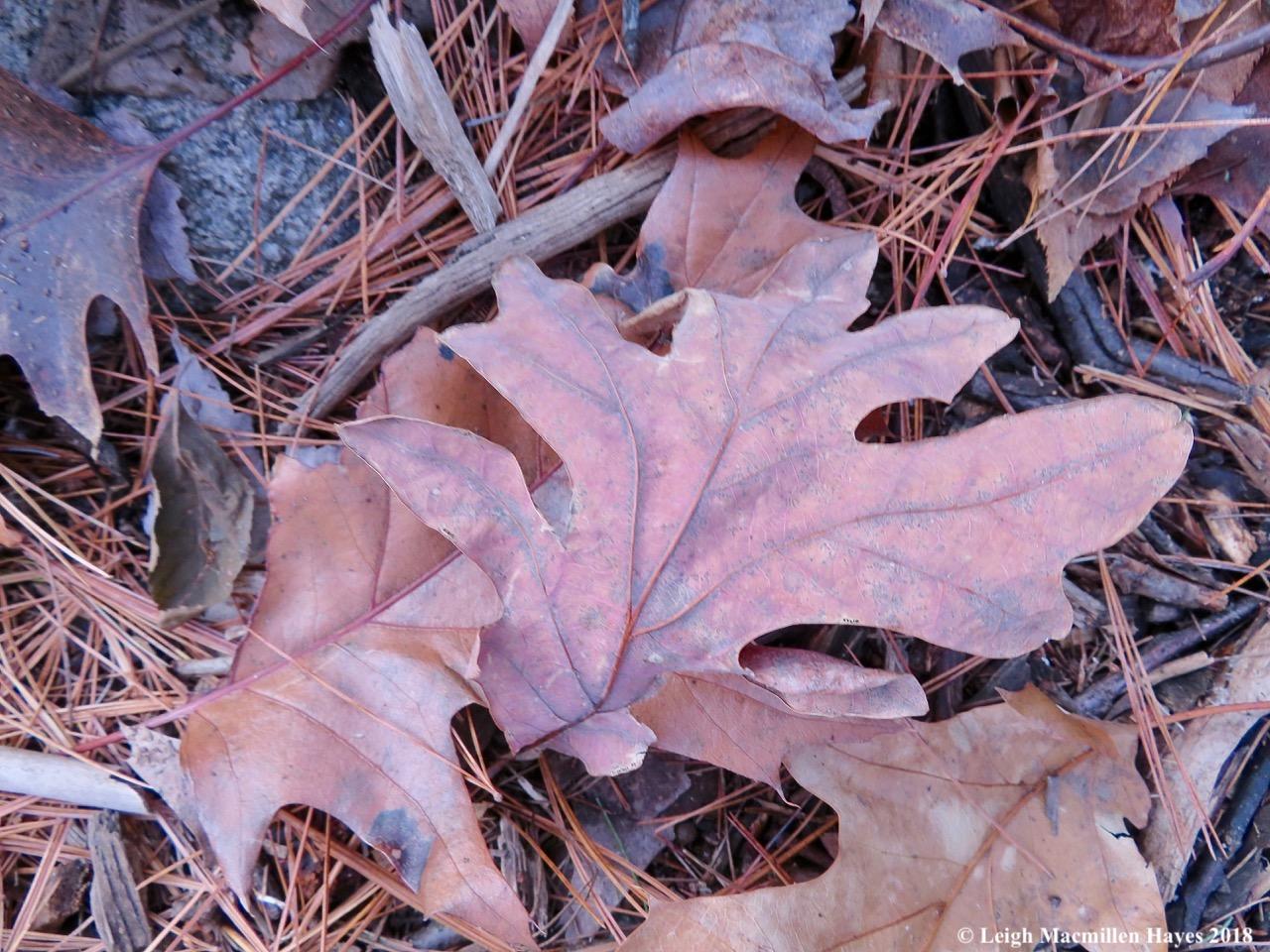 29-White Oak