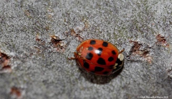 3-lady bug