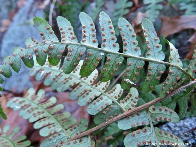 30-Marginal wood fern