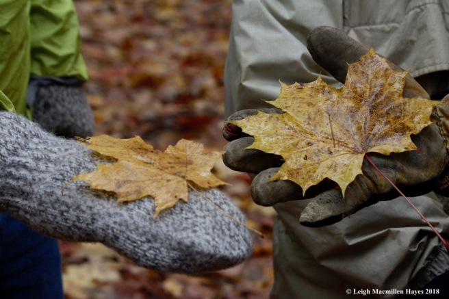 5-sugar and Norway maple leaves