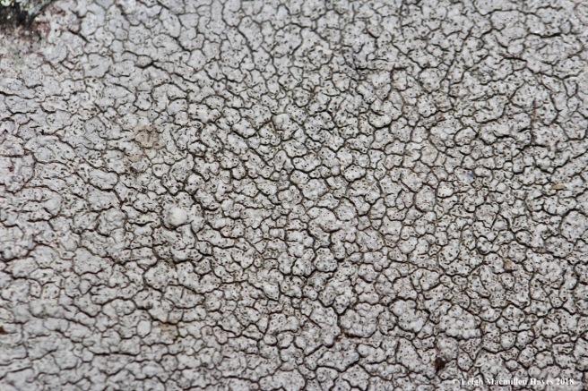 7-Cinder Lichen