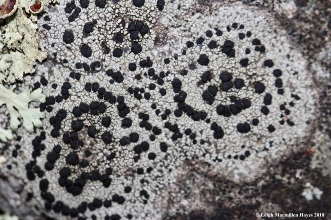 8-Concentric Boulder Lichen