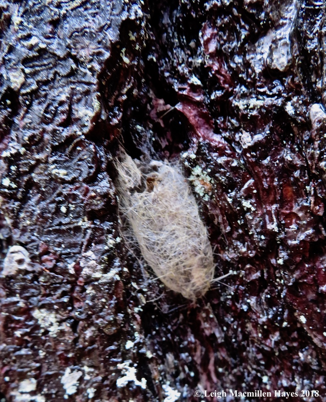 8-tussock moth cocoon